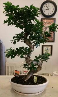 100 cm yüksekliğinde dev bonsai japon ağacı  Şanlıurfa anneler günü çiçek yolla