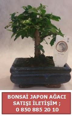 Japon ağacı minyaür bonsai satışı  Şanlıurfa kaliteli taze ve ucuz çiçekler