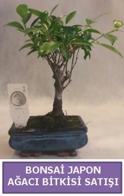 İthal Bonsai japon ağacı bitkisi satışı  Şanlıurfa anneler günü çiçek yolla