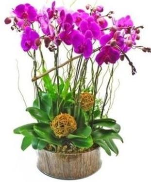 Ahşap kütükte lila mor orkide 8 li  Şanlıurfa çiçek gönderme sitemiz güvenlidir