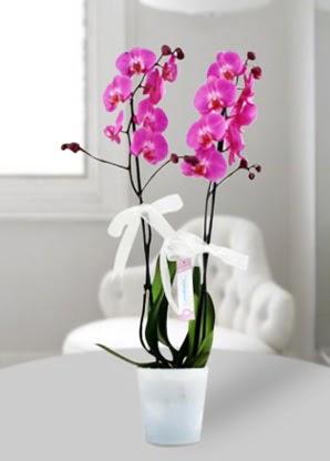 Çift dallı mor orkide  Şanlıurfa çiçek yolla