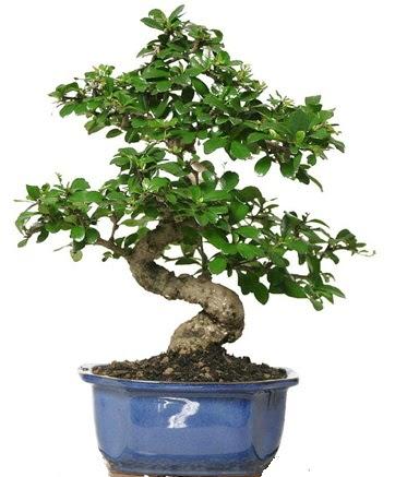 21 ile 25 cm arası özel S bonsai japon ağacı  Şanlıurfa çiçek mağazası , çiçekçi adresleri