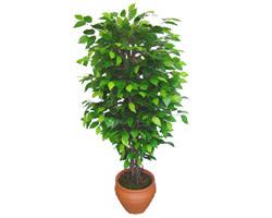 Ficus Benjamin 1,50 cm   Şanlıurfa çiçek siparişi sitesi