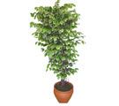 Ficus özel Starlight 1,75 cm   Şanlıurfa çiçek , çiçekçi , çiçekçilik