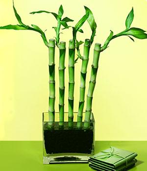 Şanlıurfa çiçek siparişi sitesi  Good Harmony Lucky Bamboo camda