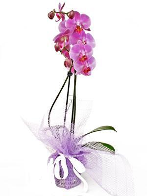 Şanlıurfa çiçek siparişi sitesi  Kaliteli ithal saksida orkide