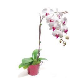 Şanlıurfa çiçek servisi , çiçekçi adresleri  Saksida orkide
