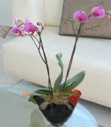 Şanlıurfa çiçek yolla , çiçek gönder , çiçekçi   tek dal ikili orkide saksi çiçegi