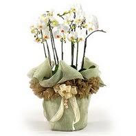 Şanlıurfa İnternetten çiçek siparişi  3 dal orkide , saksi çiçegi , 3 kök orkide