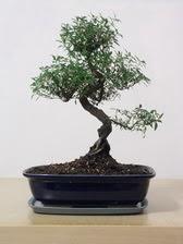 ithal bonsai saksi çiçegi  Şanlıurfa çiçekçi telefonları