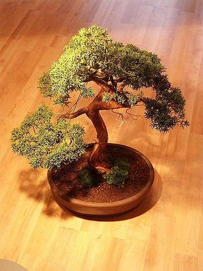 ithal bonsai saksi çiçegi  Şanlıurfa çiçek siparişi vermek