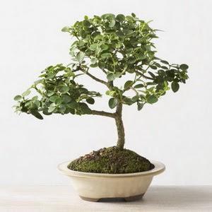 ithal bonsai saksi çiçegi  Şanlıurfa çiçekçiler