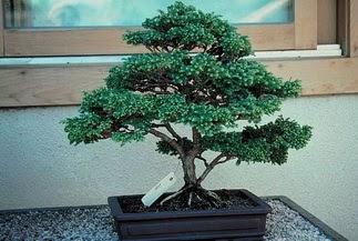 ithal bonsai saksi çiçegi  Şanlıurfa çiçekçi mağazası