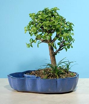 ithal bonsai saksi çiçegi  Şanlıurfa çiçek yolla