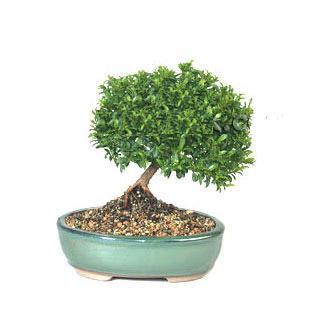 ithal bonsai saksi çiçegi  Şanlıurfa ucuz çiçek gönder