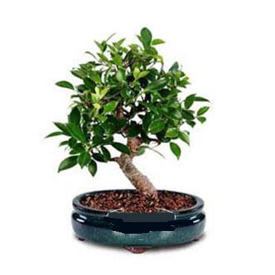 ithal bonsai saksi çiçegi  Şanlıurfa İnternetten çiçek siparişi