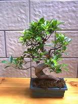 ithal bonsai saksi çiçegi  Şanlıurfa internetten çiçek satışı