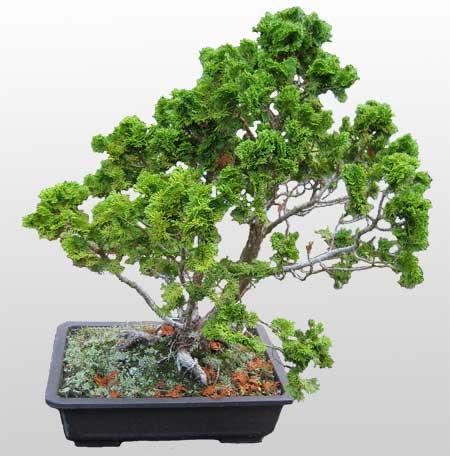 ithal bonsai saksi çiçegi  Şanlıurfa anneler günü çiçek yolla