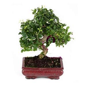 ithal bonsai saksi çiçegi  Şanlıurfa çiçek siparişi sitesi