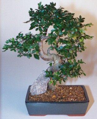 Şanlıurfa hediye sevgilime hediye çiçek  ithal bonsai saksi çiçegi  Şanlıurfa İnternetten çiçek siparişi