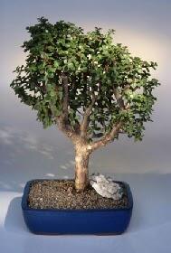Şanlıurfa çiçek servisi , çiçekçi adresleri  ithal bonsai saksi çiçegi  Şanlıurfa çiçek yolla