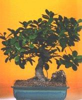 Şanlıurfa çiçek mağazası , çiçekçi adresleri  ithal bonsai saksi çiçegi  Şanlıurfa çiçek gönderme