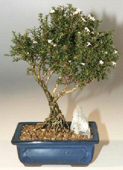 Şanlıurfa güvenli kaliteli hızlı çiçek  ithal bonsai saksi çiçegi  Şanlıurfa çiçek satışı