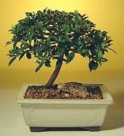 Şanlıurfa yurtiçi ve yurtdışı çiçek siparişi  ithal bonsai saksi çiçegi  Şanlıurfa çiçek , çiçekçi , çiçekçilik