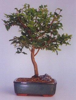 Şanlıurfa yurtiçi ve yurtdışı çiçek siparişi  ithal bonsai saksi çiçegi  Şanlıurfa çiçek siparişi sitesi