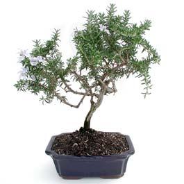 ithal bonsai saksi çiçegi  Şanlıurfa çiçek mağazası , çiçekçi adresleri