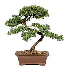 ithal bonsai saksi çiçegi  Şanlıurfa hediye sevgilime hediye çiçek