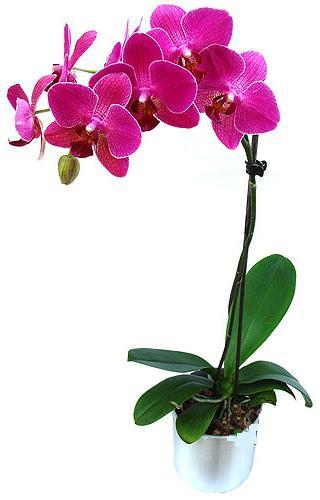 Şanlıurfa çiçek yolla , çiçek gönder , çiçekçi   saksi orkide çiçegi
