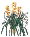 Şanlıurfa çiçek yolla  Orchiede ithal büyük boy saksi
