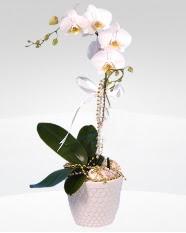 1 dallı orkide saksı çiçeği  Şanlıurfa uluslararası çiçek gönderme