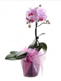 1 dal pembe orkide saksı çiçeği  Şanlıurfa online çiçek gönderme sipariş