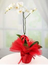 1 dal beyaz orkide saksı çiçeği  Şanlıurfa cicekciler , cicek siparisi