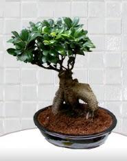 saksı çiçeği japon ağacı bonsai  Şanlıurfa online çiçek gönderme sipariş