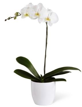 1 dallı beyaz orkide  Şanlıurfa çiçekçi mağazası