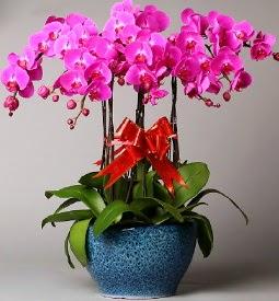 7 dallı mor orkide  Şanlıurfa çiçekçiler
