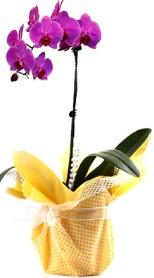 Şanlıurfa İnternetten çiçek siparişi  Tek dal mor orkide saksı çiçeği