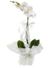 1 dal beyaz orkide çiçeği  Şanlıurfa çiçekçi telefonları