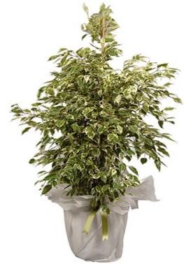 Orta boy alaca benjamin bitkisi  Şanlıurfa çiçek gönderme sitemiz güvenlidir