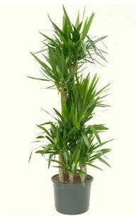 7 li yucca saksı bitkisi  Şanlıurfa internetten çiçek siparişi