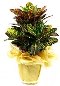 Orta boy kraton saksı çiçeği  Şanlıurfa çiçekçi mağazası