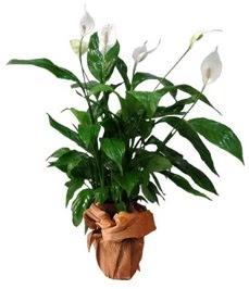 Orta boy barış çiçeği limon çiçeği  Şanlıurfa çiçek gönderme