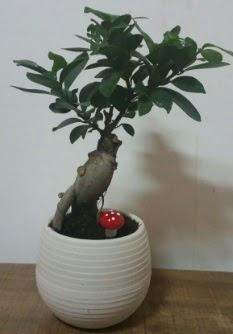 Bonsai japon ağacı saksı çiçeği  Şanlıurfa hediye sevgilime hediye çiçek