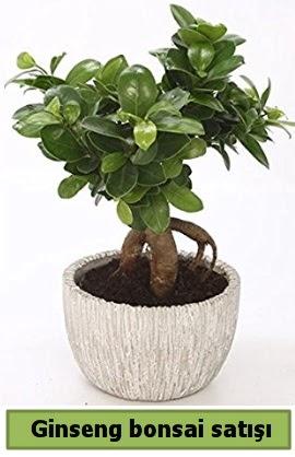Ginseng bonsai japon ağacı satışı  Şanlıurfa çiçek mağazası , çiçekçi adresleri