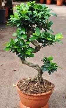 Orta boy bonsai saksı bitkisi  Şanlıurfa çiçek gönderme