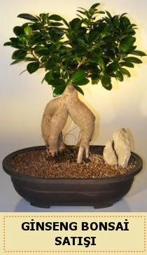 İthal Ginseng bonsai satışı japon ağacı  Şanlıurfa İnternetten çiçek siparişi