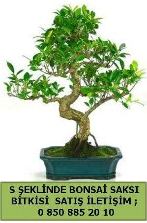 İthal S şeklinde dal eğriliği bonsai satışı  Şanlıurfa çiçek servisi , çiçekçi adresleri